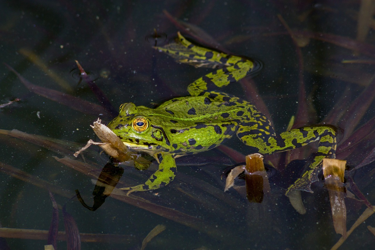 frog-393481_1280